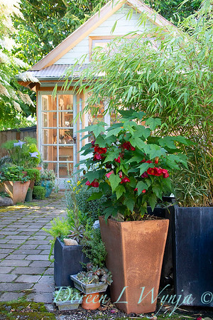 Abutilon Red - patio container garden - potting shed