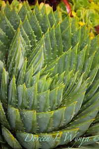 Aloe polyphylla_0813