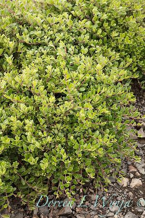 295 Arctostaphylos uva-ursi 'Massachusetts'_5452