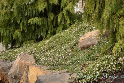 295 Arctostaphylos uva-ursi 'Massachusetts'_6311
