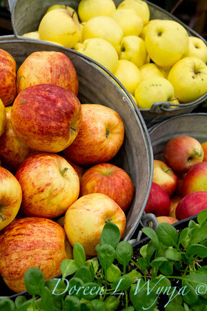 Malus, fresh picked apples in buckets