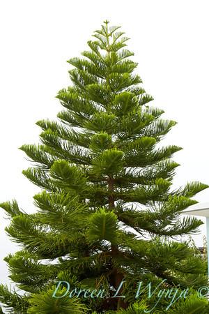Araucaria heterophylla, a Norfolk island pine