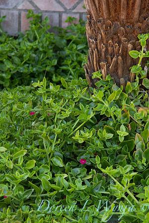 Aptenia cordifolia ground cover blooming