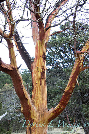 Arbutus menziesii Pacific madrone trunk_2237