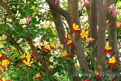 yellow with red columbine, Aquilegia chrysantha around the base of crepe myrtle tree trunks