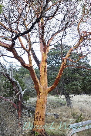 Arbutus menziesii Pacific madrone trunk_2236