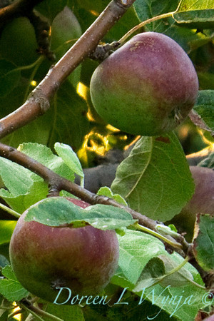 Malus Liberty, apples on the branch
