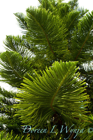 Araucaria heterophylla branch also known as a Norfolk island pine