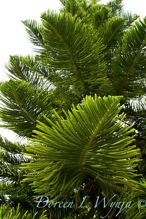 Araucaria heterophylla branch also known as a Norfolk island pine