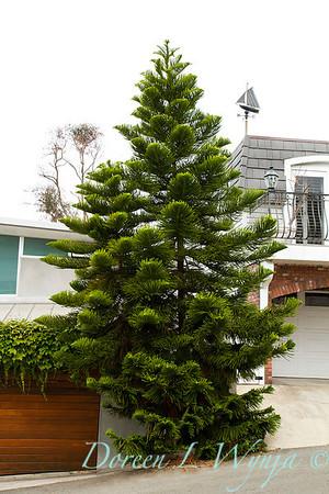Araucaria heterophylla a Norflok island pine in almost no soil, growing happily in coastal weather
