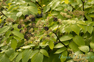 Aralia cordata 'Sun King' with fruit