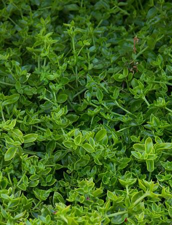 Aptenia cordifolia ground cover