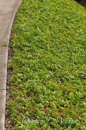 Aptenia cordifolia ground cover blooming along a sidewalk