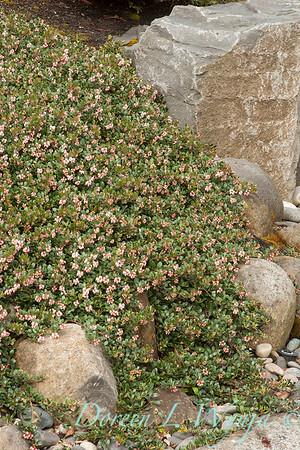 295 Arctostaphylos uva-ursi 'Massachusetts'_6315