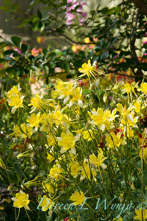 yellow with white Aquilegia chrysantha in a garden setting