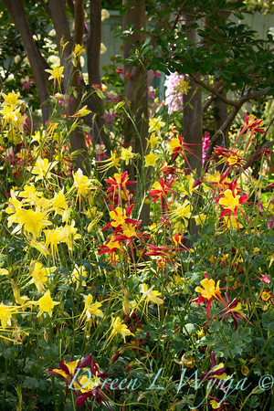 yellow with red columbine, Aquilegia chrysantha with the base of crepe myrtle tree trunks in the background
