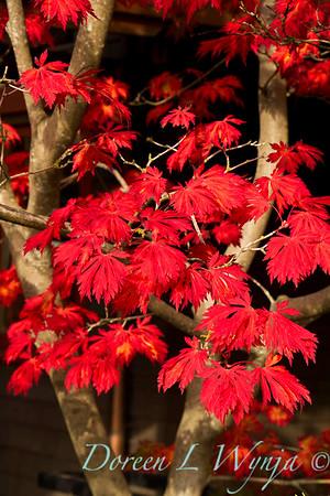 Acer japonicum Aconitifolium Fullmoon fall color