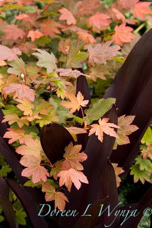 Acer circinatum Dells Dwarf_Eucomis Sparkling Burgundy bronze