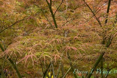 Acer palmatum 'Atrolineare'_1615