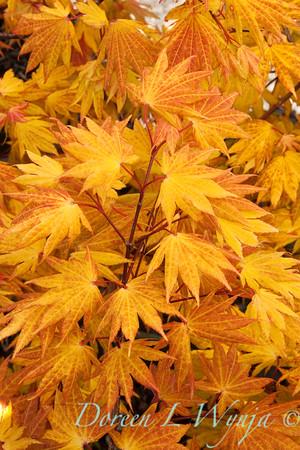 Acer Autumn Moon