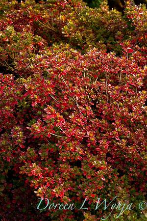 Azalea Hino-Crimson