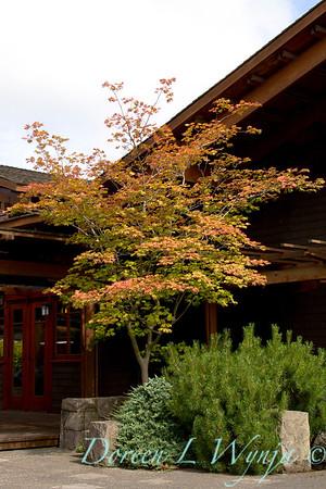 52 Acer japonicum Aconitifolium_020