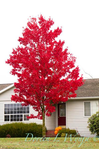 Acer rubrum Autumn Radiance_003_Doreen L Wynja