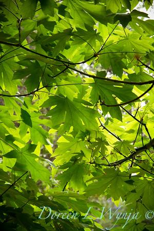 Acer macrophyllum Japanese Maple Big leaf