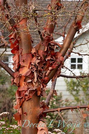 Acer griseum trunk in winter_1223