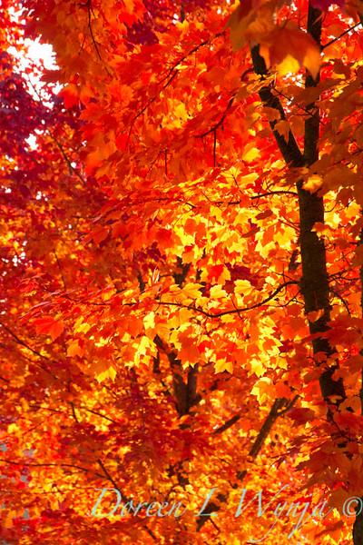 Acer rubrum Autumn Radiance_023_Doreen L Wynja