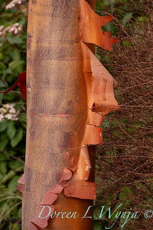 Acer griseum trunk in winter_1219
