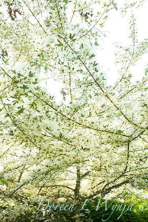 Acer campestre 'Carnival'_002