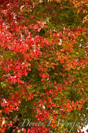 Acer rubrum Franksred fall color