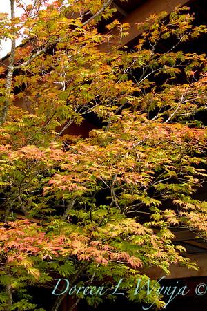 52 Acer japonicum Aconitifolium_022FG