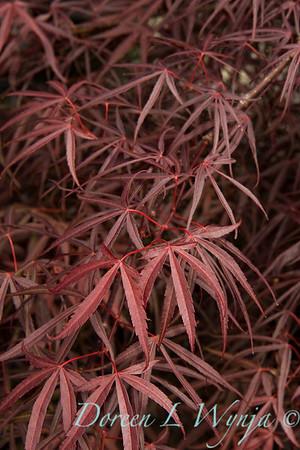 Acer palmatum Linearilobum