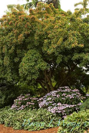 Acer ginnala Red Rhapsody hydrangea serrata bluebird hosta Francee