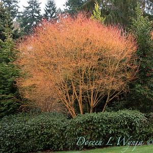Acer palmatum 'Bihou' in a landscape_1148FGT