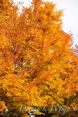 Acer palmatum Sangokaku tree fall color