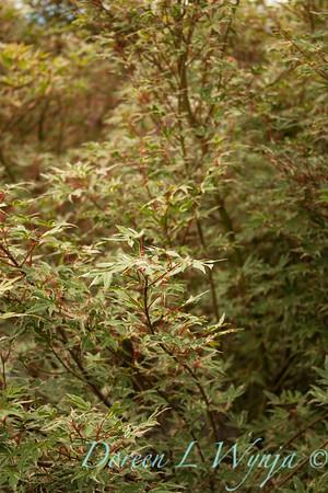 Acer Kagiri Nishiki Japanese Maple Roseo Marginatum