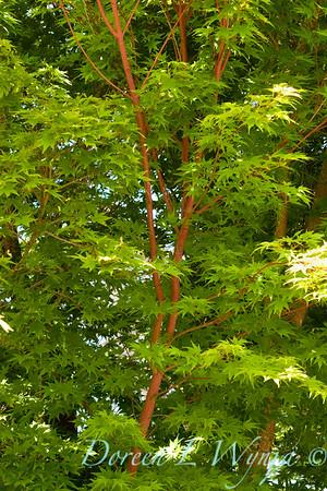 Acer Sangokaku Coral Bark