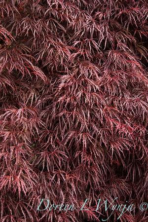 Acer palmatum Crimson Queen