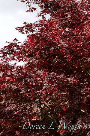 Acer palmatum Nigrum red leaf maple
