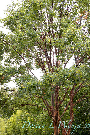 Acer griseum_2246