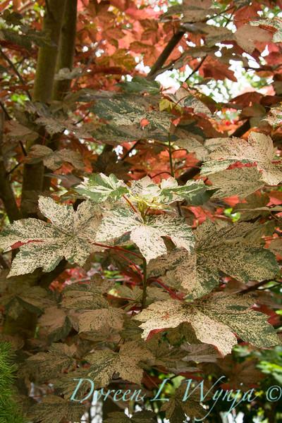 Acer pseudoplatanus Eskimo Sunset_Doreen Wynja_027