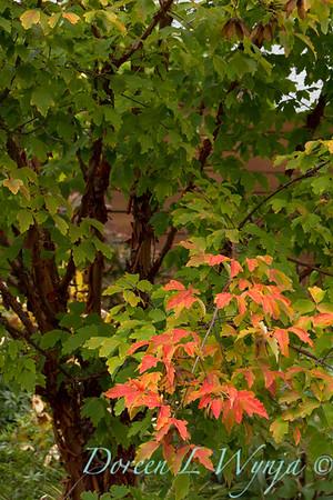 Acer griseum Maple