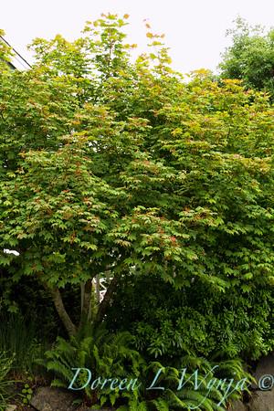 Alchemilla mollis Thriller tree