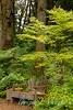 Acer palmatum Sango Kaku_6014
