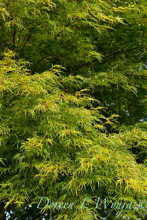 Acer palmatum Seiryu lace leaf