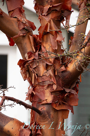 Acer griseum trunk in winter_1220