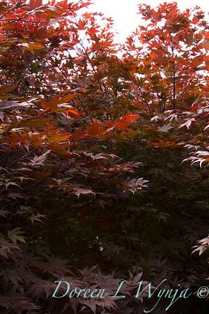 Acer palmatum Oshio Beni